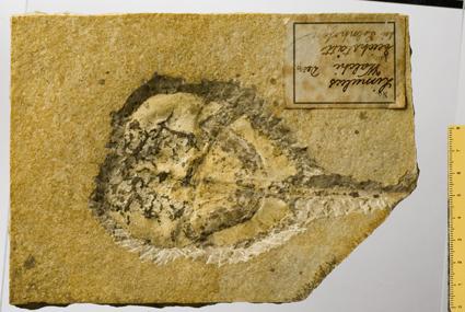 Fossile - Esemplare completo di limulo