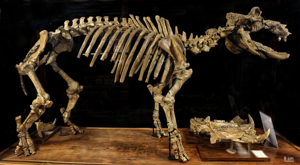 Fossile - Scheletro montato