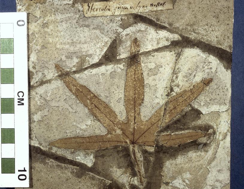 Fossile - Foglia tripartita