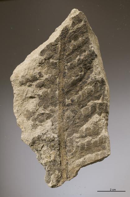Fossile - Foglia di felce