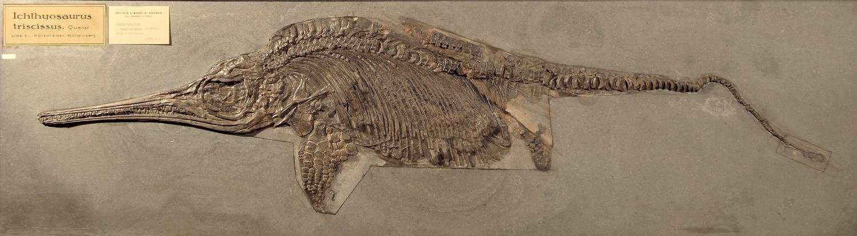 Fossile - Scheletro completo di ittiosauro