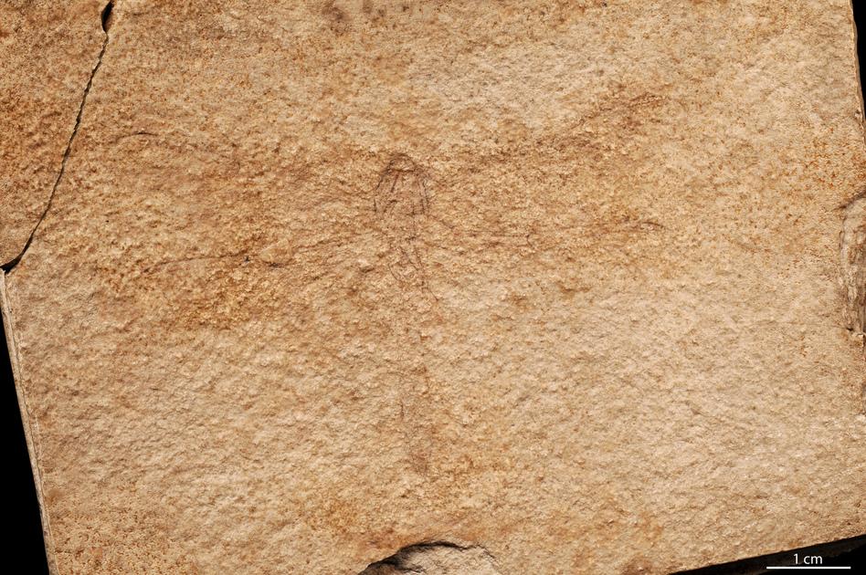 Fossile - Libellula