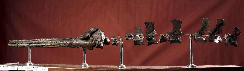 Fossile - Cranio